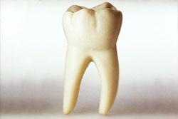 Функции коренных зубов